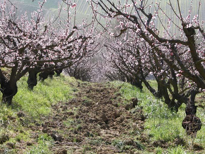 albicocche in fiore1